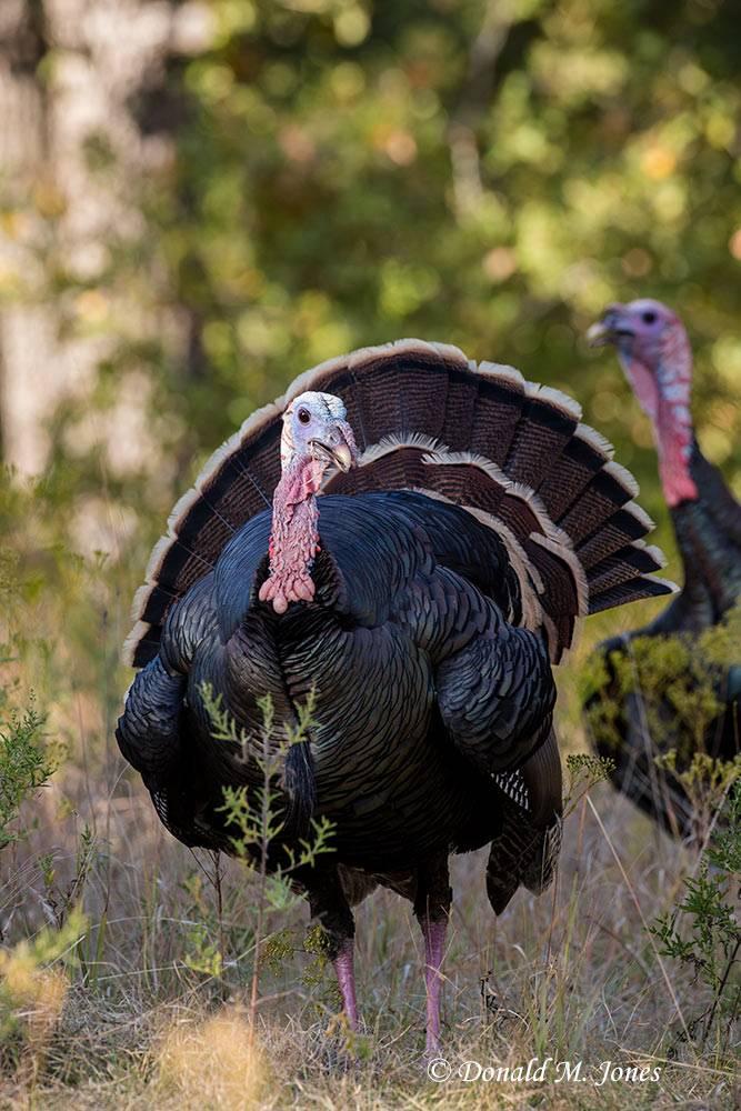 Wild-Turkey-(Rio-Grande)0161D