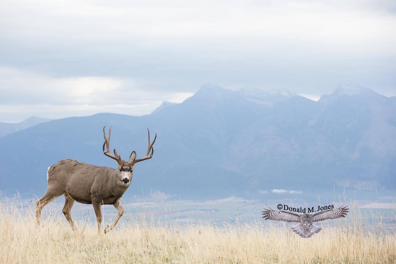 Mule-Deer10493D