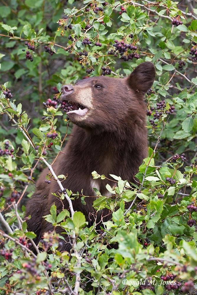 Black-Bear07403D