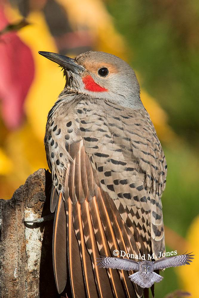 Northern-Flicker0433D