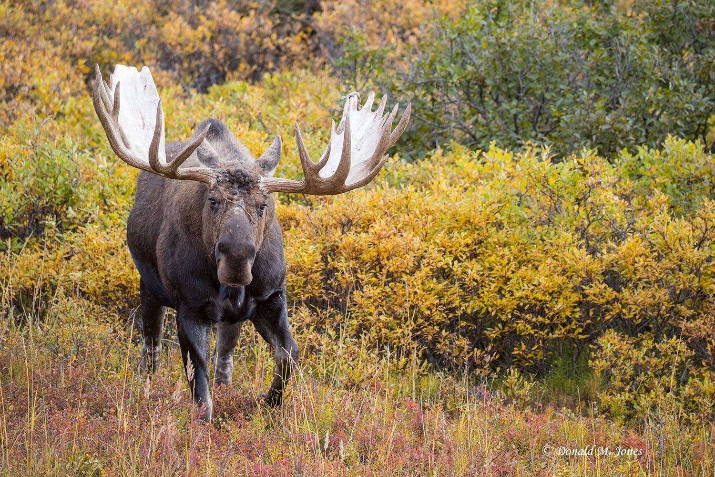 Moose05881D