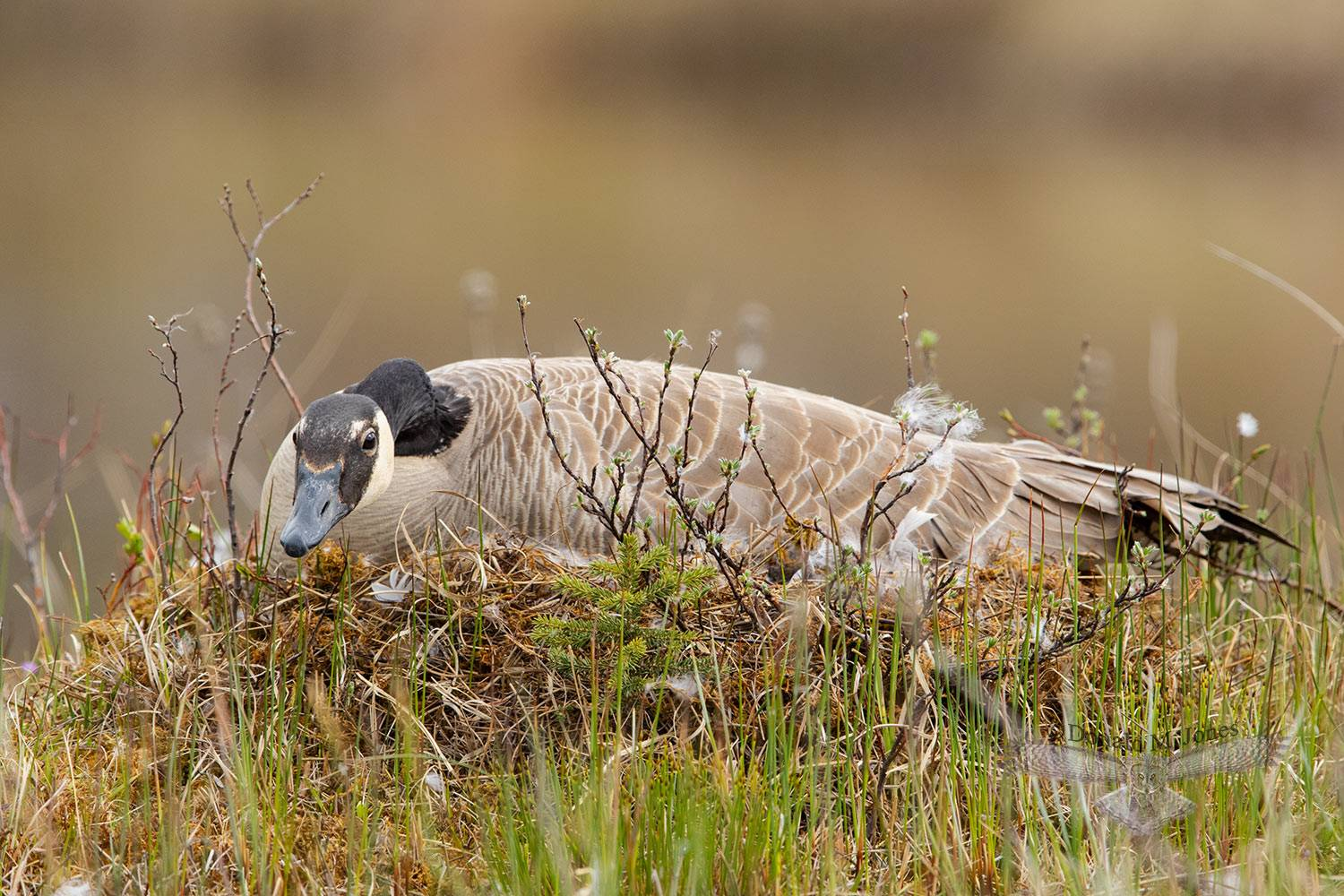 May 20 Canada Goose on nest