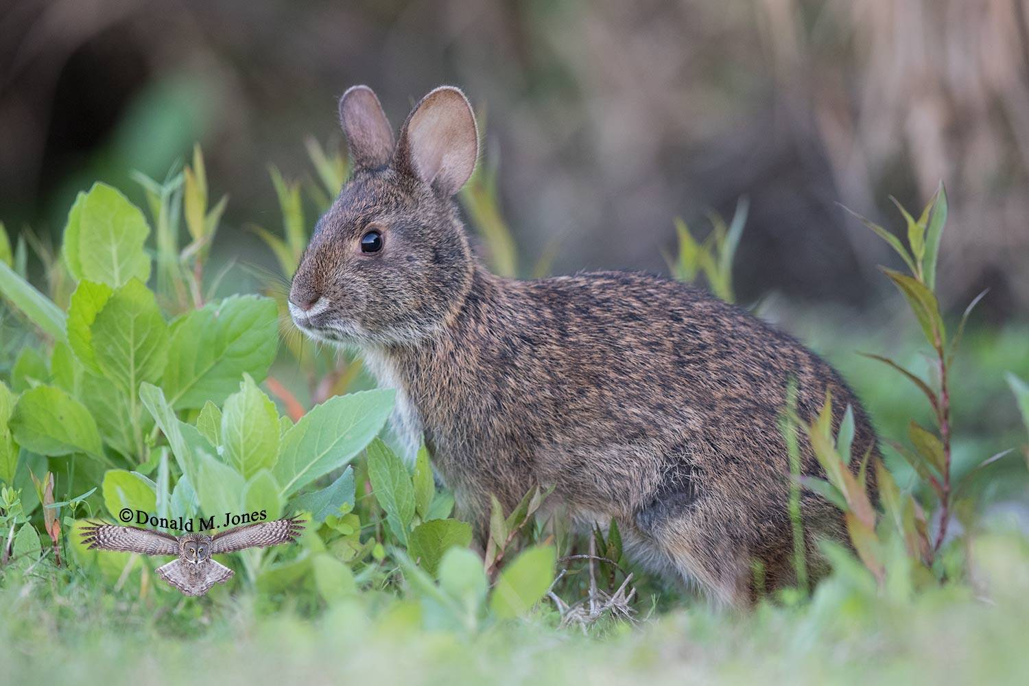 Marsh-Rabbit0148D