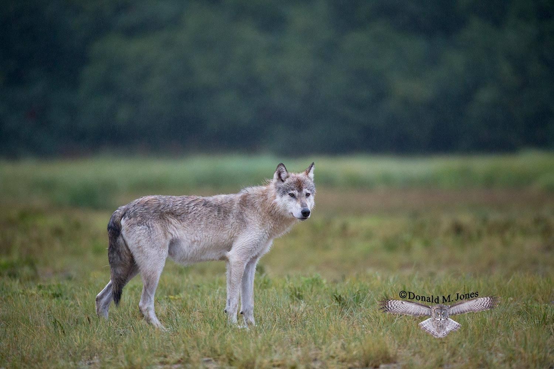 Wolf0603D