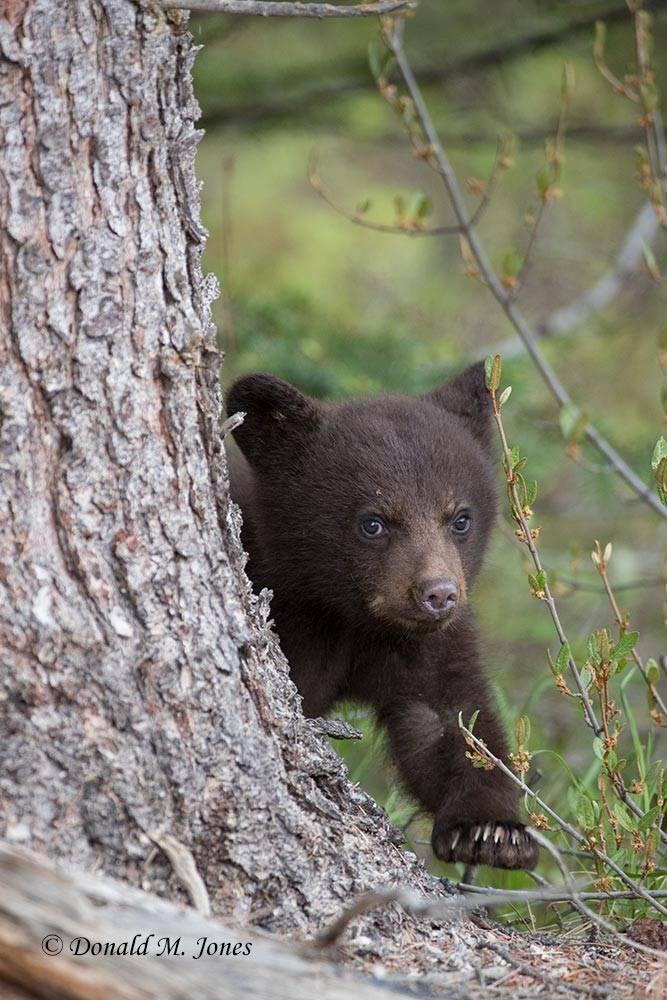 Black-Bear07661D