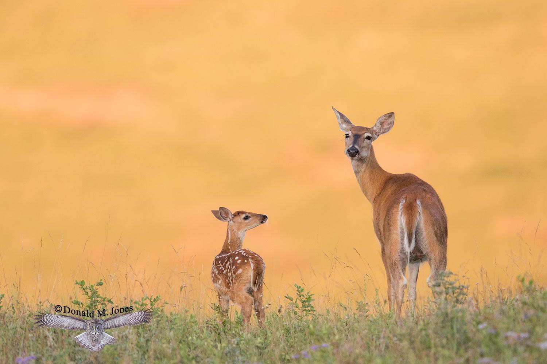 Whitetail-Deer57326D