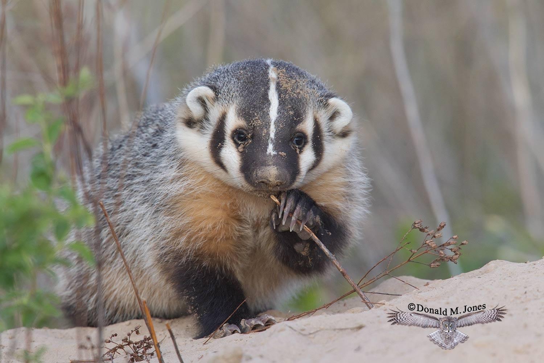 Badger0913D