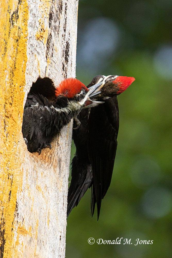 Pileated-Woodpecker0203D