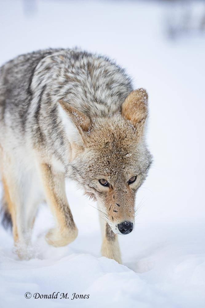 Coyote2709D