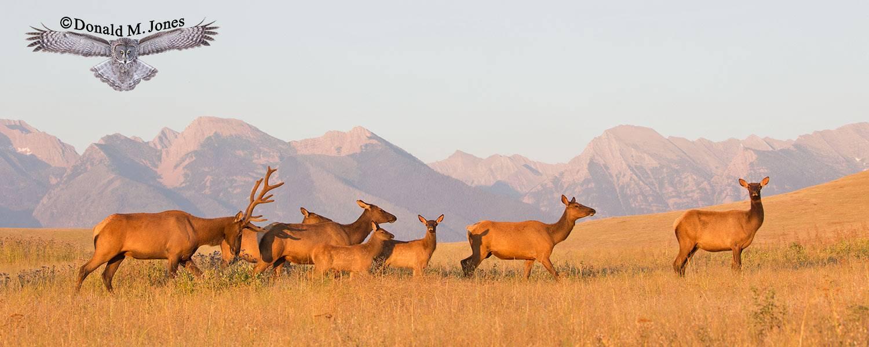 Elk-(Rocky-Mtn)25548D