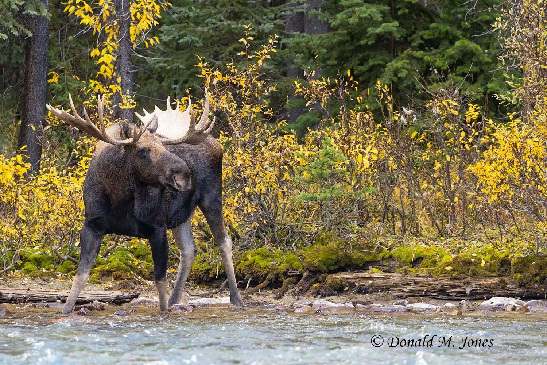 Moose07605D