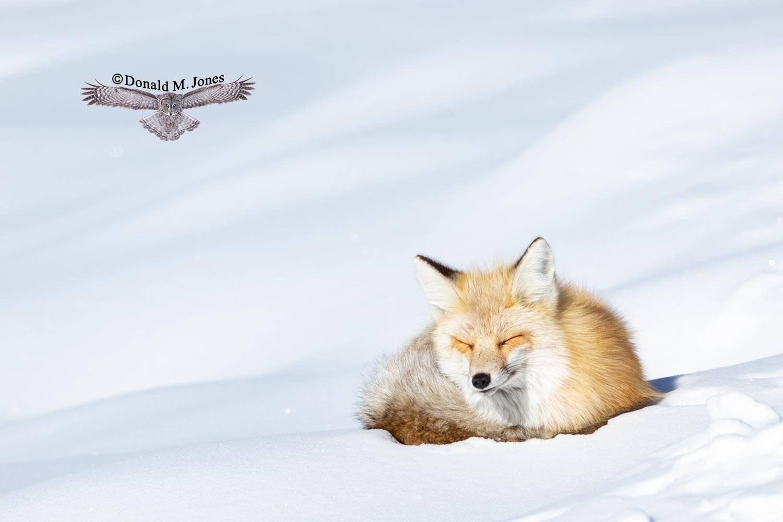 Red-Fox1285D