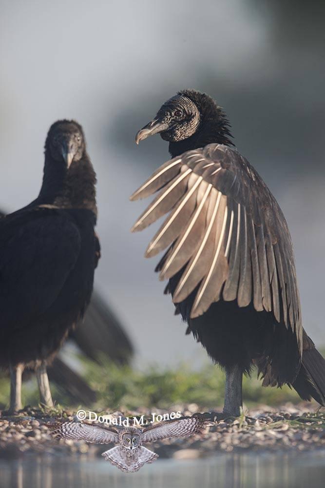 Black-Vulture0142D