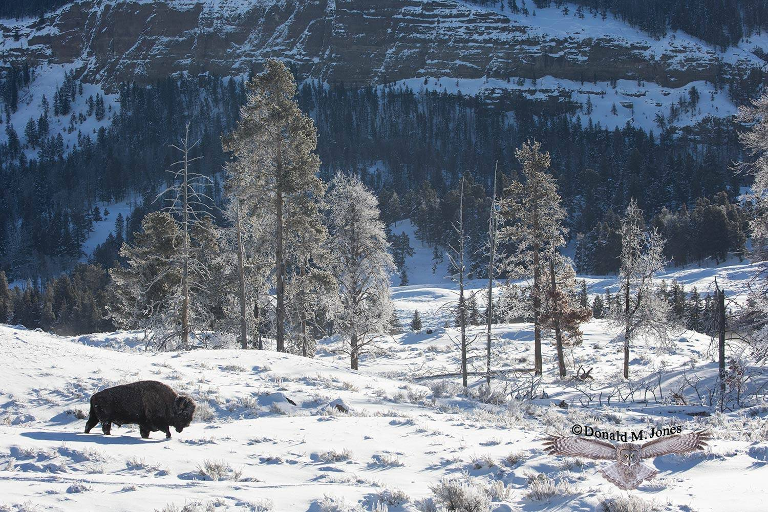 American-Bison02356D