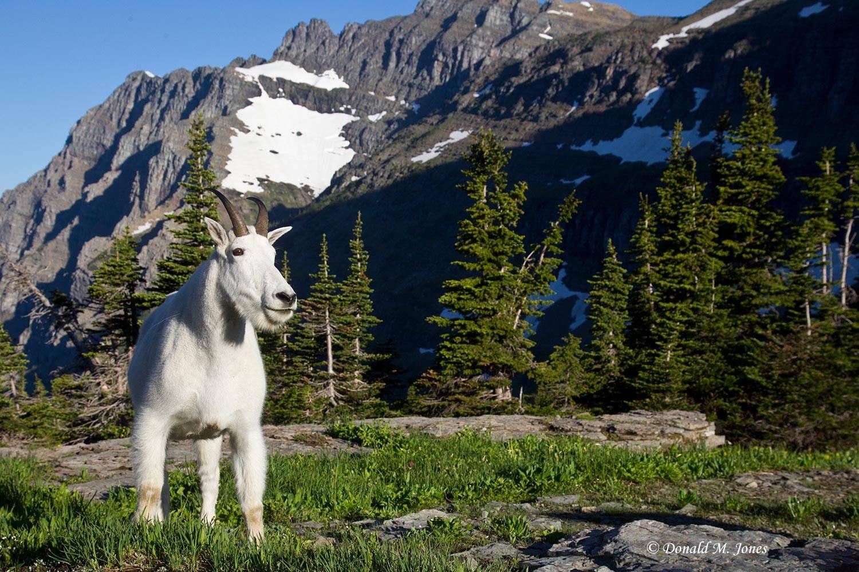 Mountain-Goat02343D