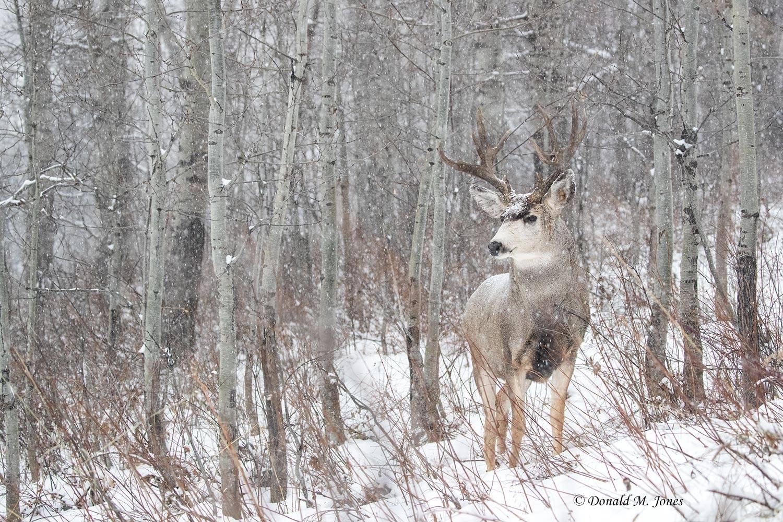 Mule-Deer12720D