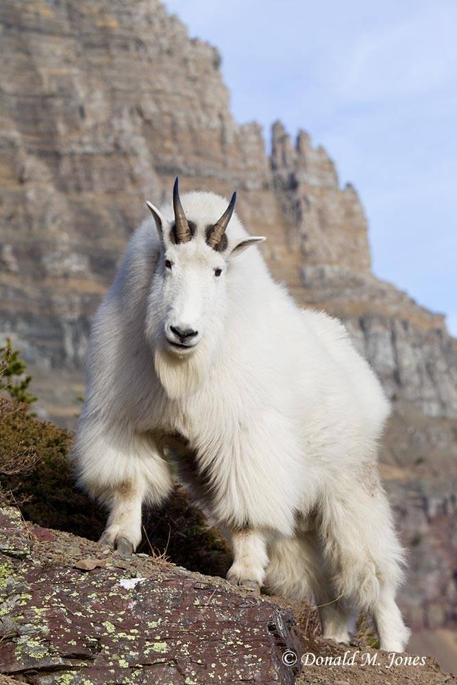 Mountain-Goat02804D