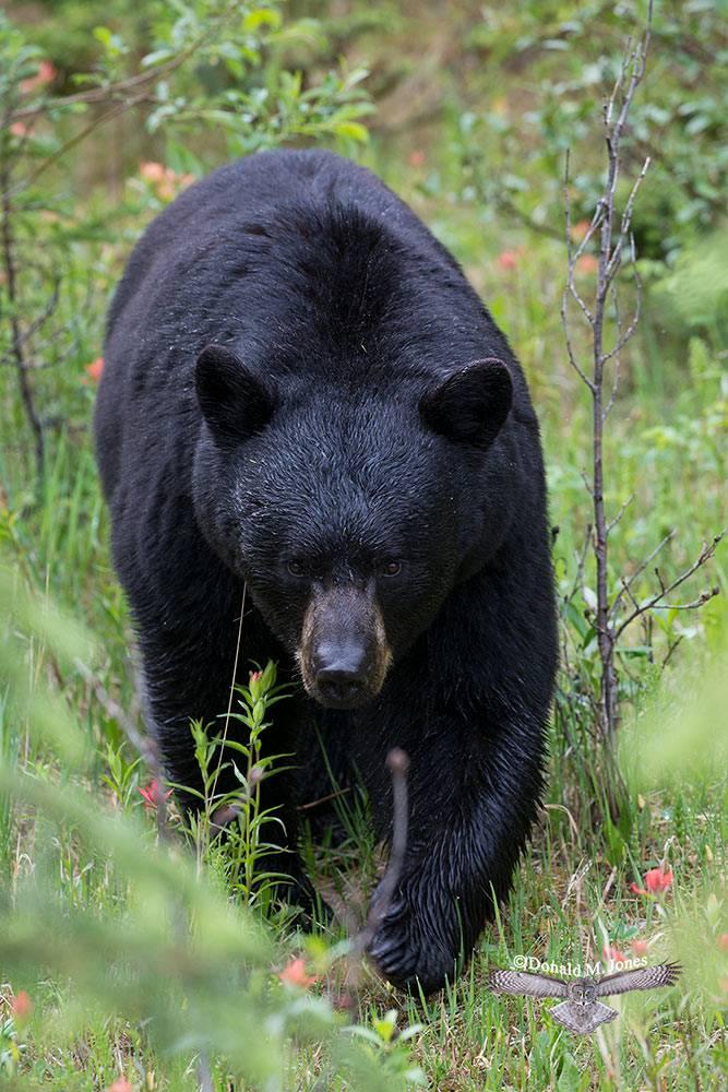 Black-Bear07359D
