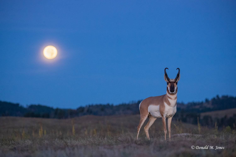 Pronghorn-Antelope5700D.jpg