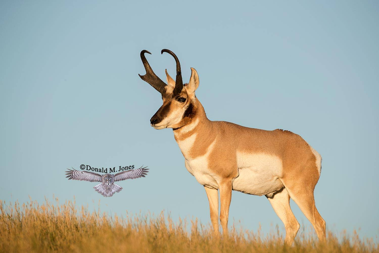 Pronghorn-Antelope04852D