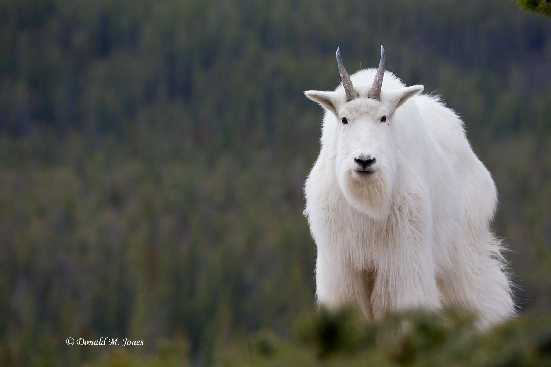 Mountain-Goat02519D