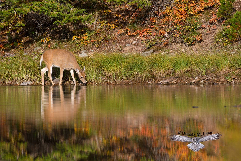 Whitetail-Deer48485D
