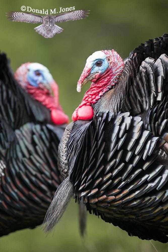 Wild-Turkey-(Merriams)12084D