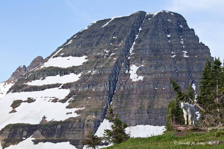 Mountain-Goat02409D