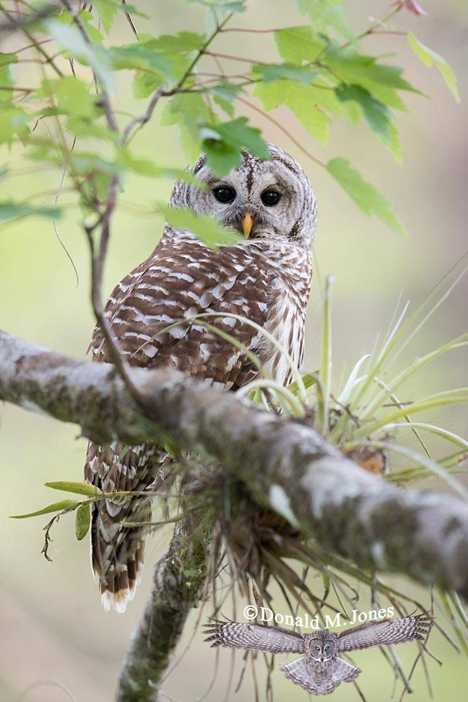 Barred-Owl0136D