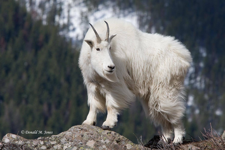 Mountain-Goat01816D