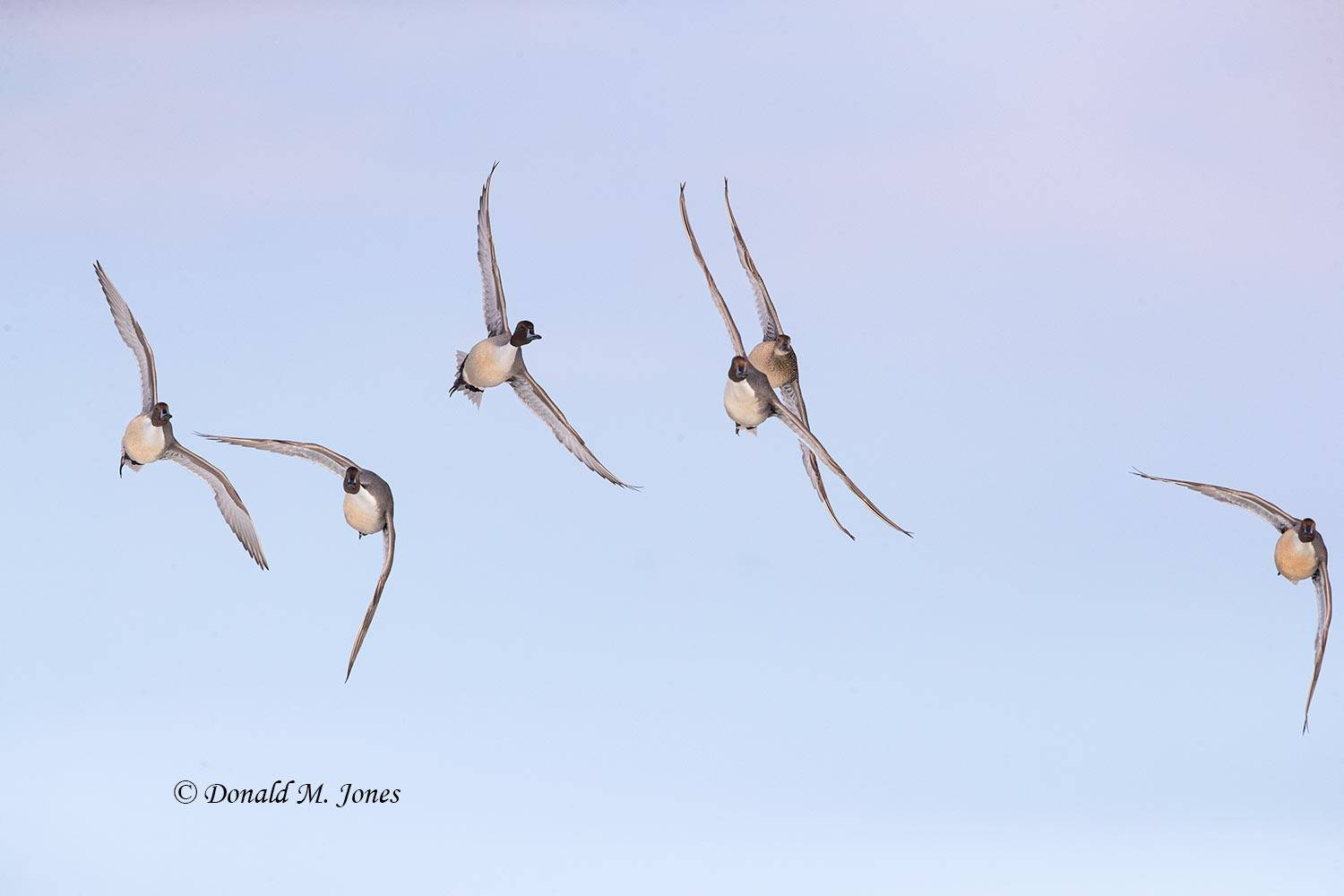 Northern-Pintail2610D
