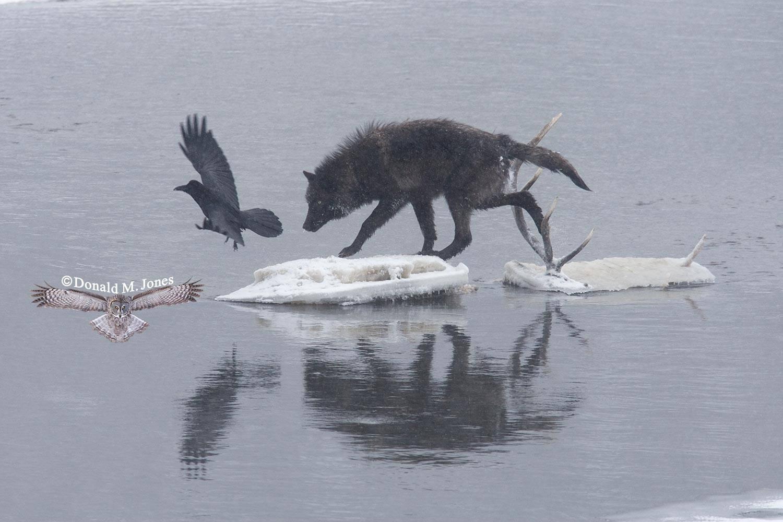 Wolf0548D