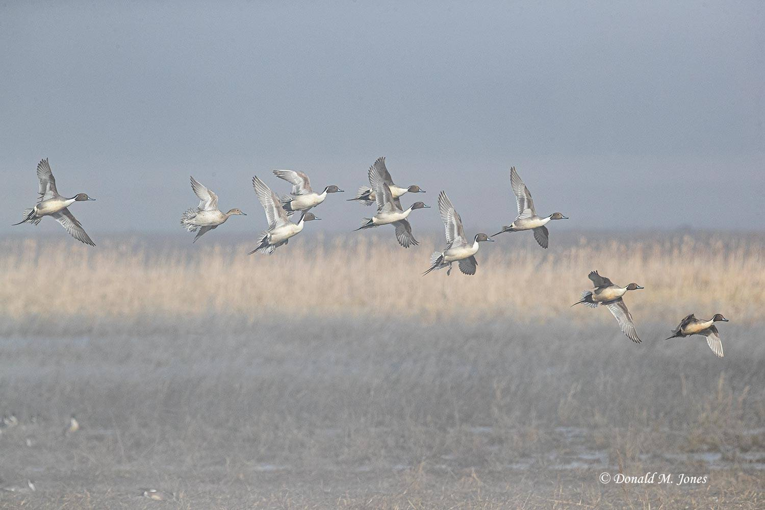 Northern-Pintail2456D