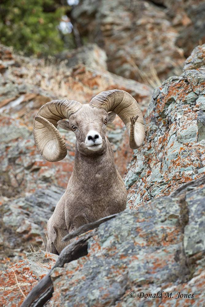 Bighorn-Sheep06180D