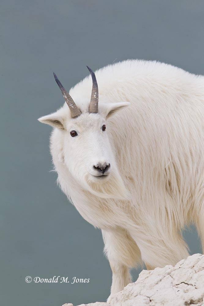 Mountain-Goat02499D