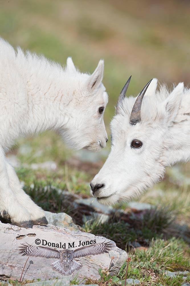 Mountain-Goat02595D