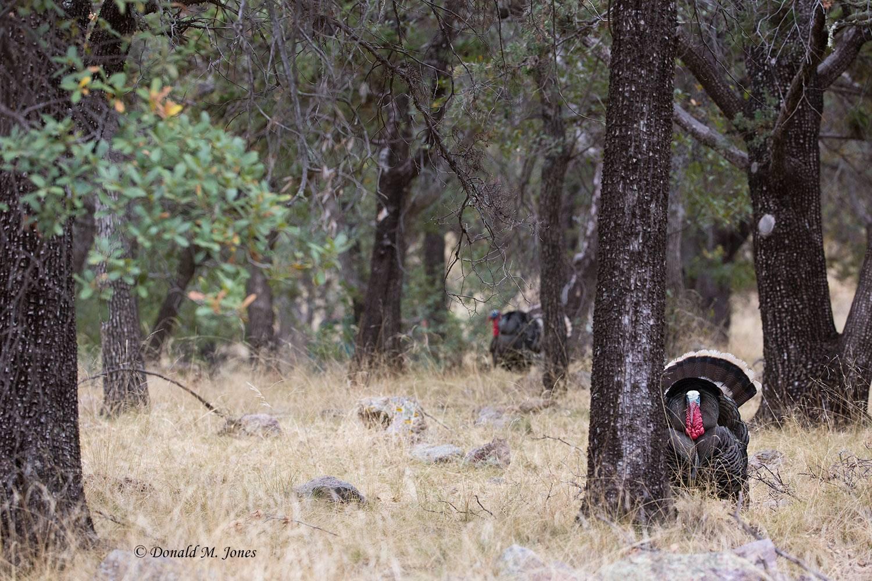 Wild-Turkey-(Goulds)00220D