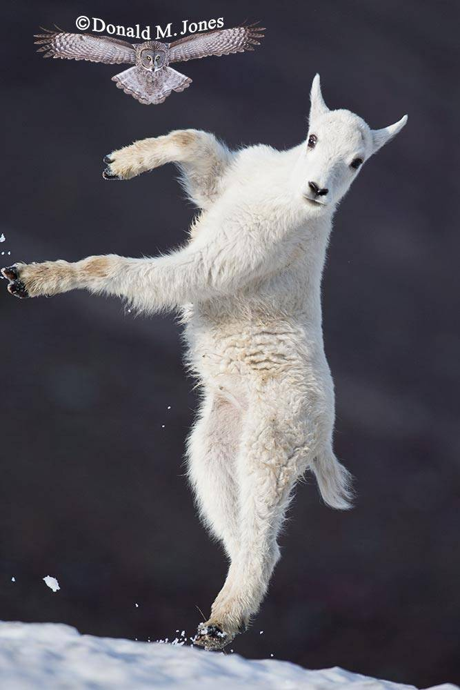 Mountain-Goat02729D