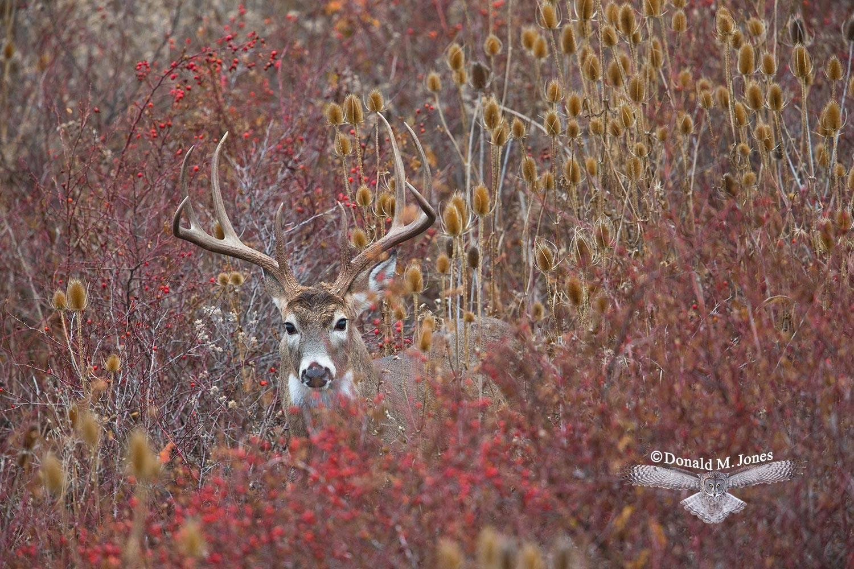 Whitetail-Deer46506D