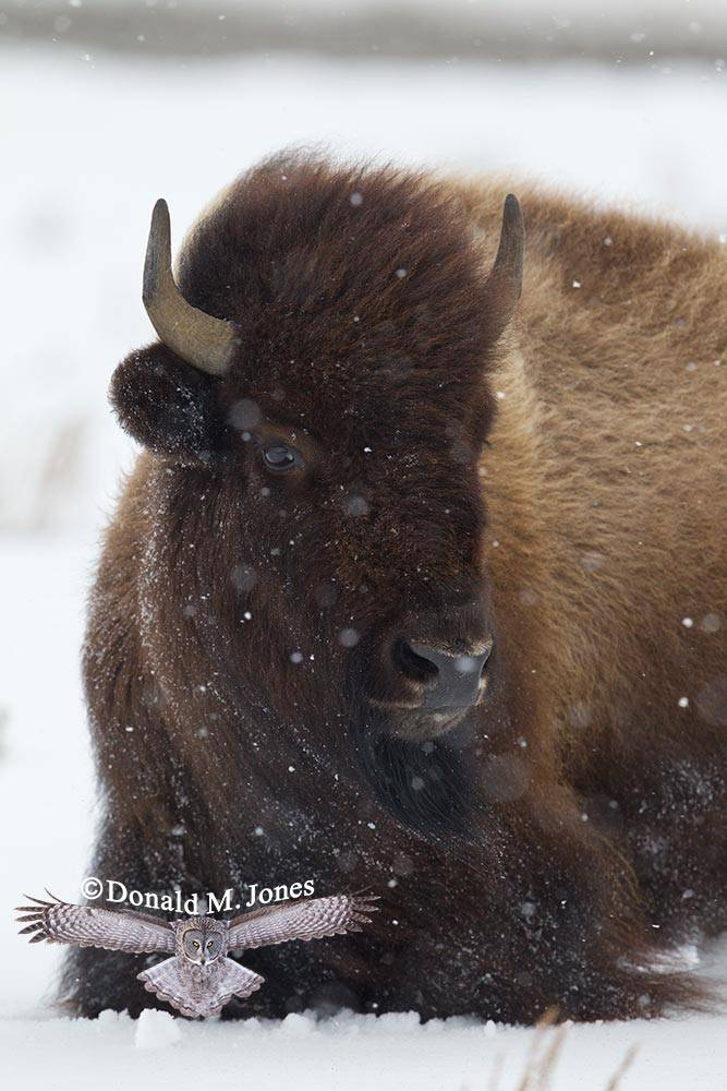 American-Bison01762D
