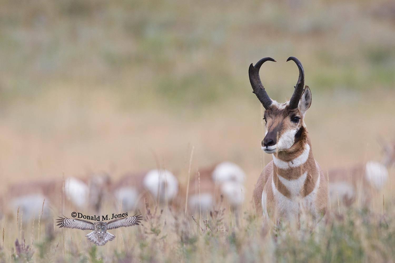 Pronghorn-Antelope03193D