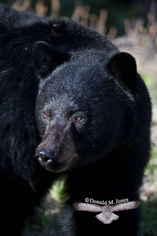 Black-bear06972D