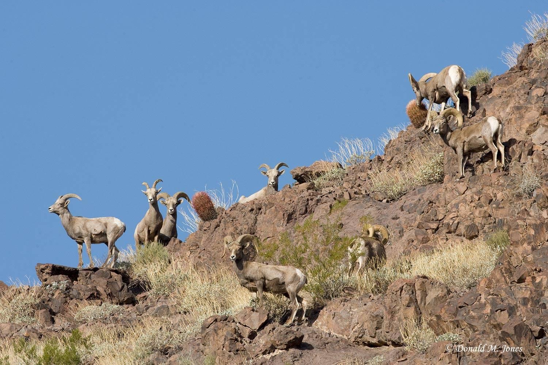 Desert-Bighorn-Sheep00040D