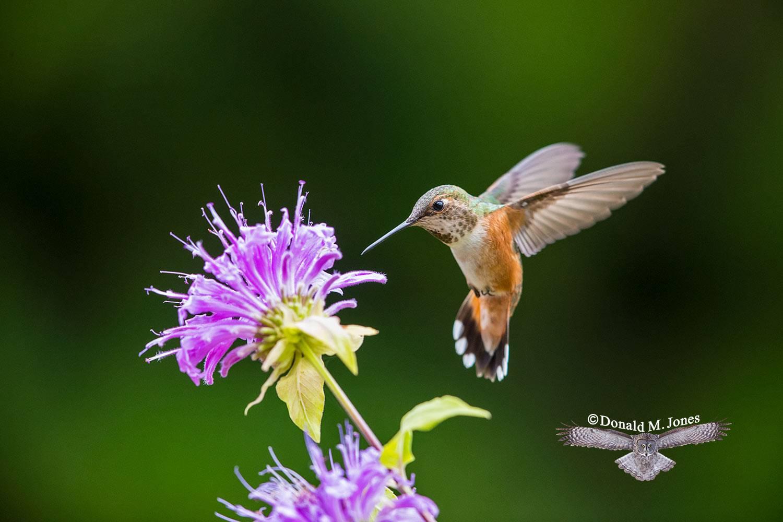 Rufus-Hummingbird0619D