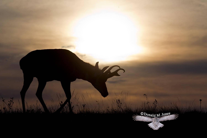 Pronghorn-Antelope04035D