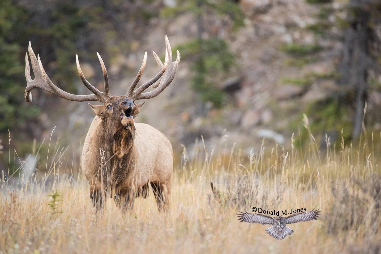 Elk-(Rocky-Mtn)25918D