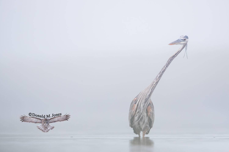 Great-Blue-Heron0803D