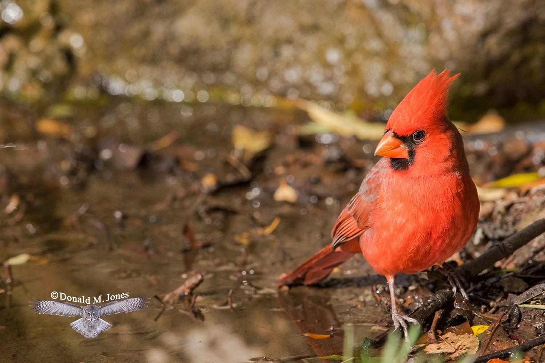 Northern-Cardinal0296D