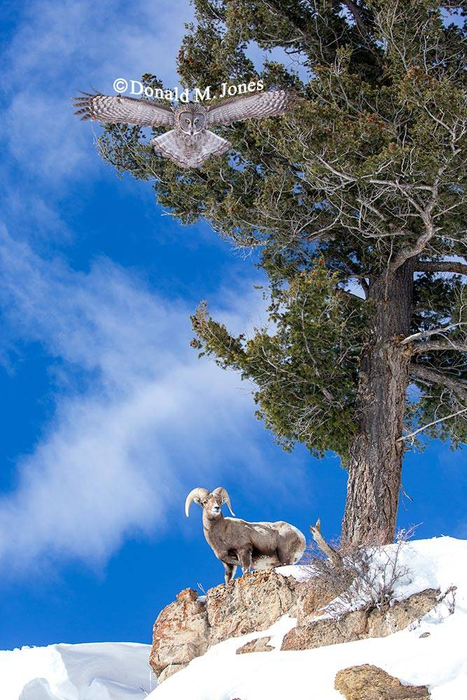 Bighorn-Sheep06219D