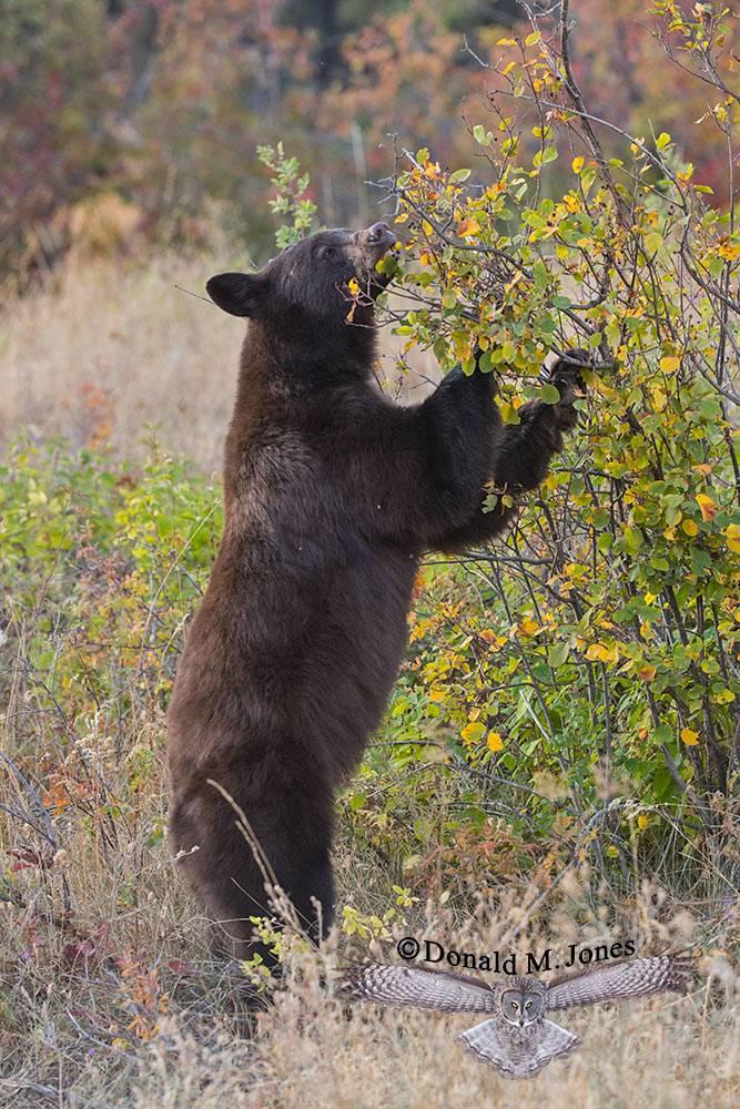 Black-Bear08150D